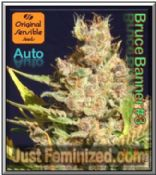 Auto Bruce Banner #3 Trusted Weed Seeds by Original Sensible